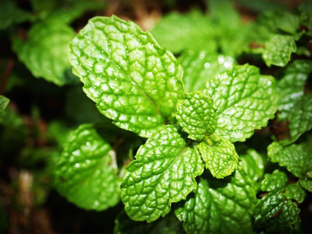 zioła ogrodowe - mięta